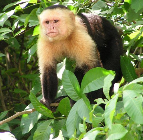 Capuchin monkey in Costa Rican jungle  By David M. Jensen (Storkk) - Own work, CC BY-SA 3.0, https://commons.wikimedia.org/w/index.php?curid=1350715